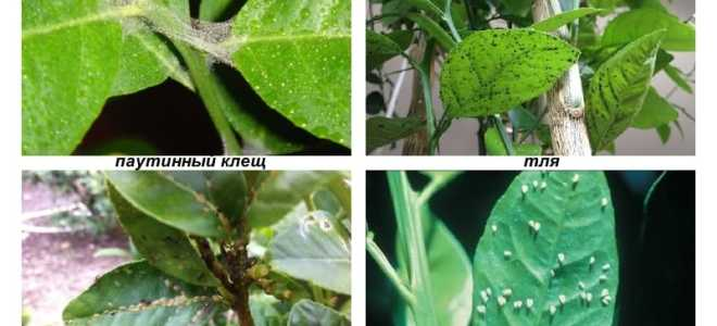 Болезни и вредители лимона домашнего: описание, причины и лечение, фото