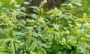 Итея виргинская (Itea virginica): выращивание и уход