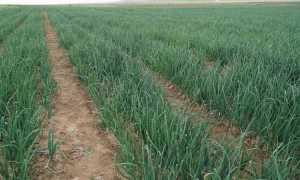 Урожайность лука ⇑ как повысить с сотки, с 1 га, на перо и репчатого, разных сортов