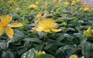 Зверобой чашечковидный: фото, условия выращивания, уход и размножение