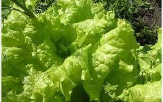 Салал: фото, условия выращивания, уход и размножение