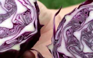 Сорта краснокочанной капусты: описание лучших видов, а именно Калибос, Киото, Примеро и другие