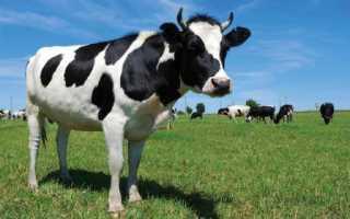 Бесплодие коров и яловость: виды бесплодия, причины, лечение, профилактика