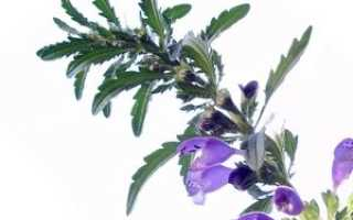 Змееголовник, описание, фото, выращивание, сбор, лекарственные свойства, применение