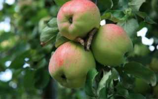 Яблоня Антоновка Десертная – отзывы о сорте, описание, фото