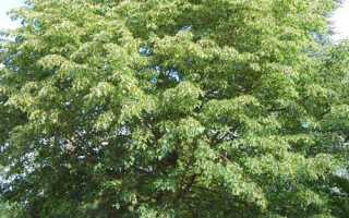Липа – дерево свободы