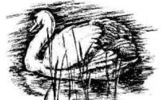 Содержание лебедей