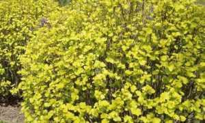 Желтый (золотистый) пузыреплодник: описание, фото, посадка и уход