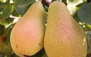 Как посадить грушу Лесная красавица – особенности выращивания