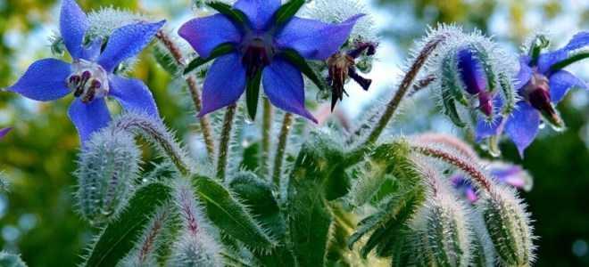 Огуречная трава: фото, условия выращивания, уход и размножение